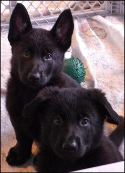 black german shepherd puppies 8 weeks black german shepherds dogs i d like to hug