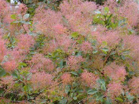 royal purple smoke tree cotinus coggygria dmrc d