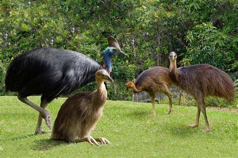 stop dog attacks on daintree cassowaries the rainforest