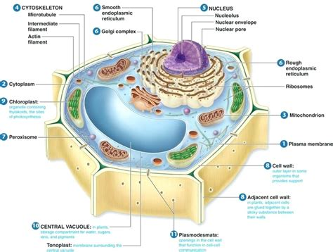 plant cell diagram and functions diagram plant cell diagram labeled with functions