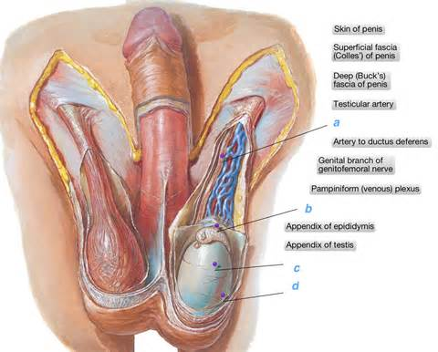 vas deferens opinions on ductus deferens