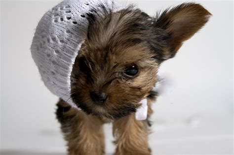 teacup yorkie breeders in brown yorkie puppies www pixshark images galleries with a bite