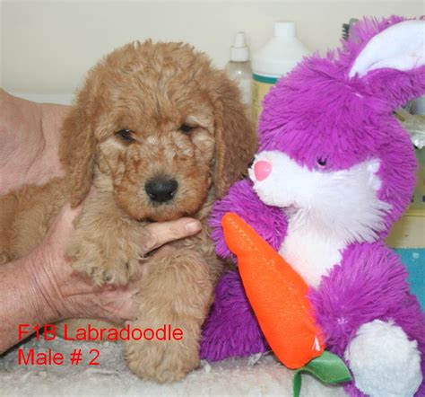 precious puppies hutton s precious puppies available labradoodle puppies