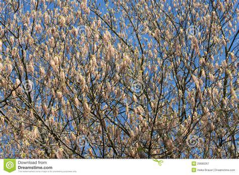 fiori betulla fiori della betulla immagine stock immagine di parco
