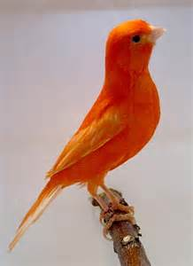 what color is canary canary colors breeds pictures to pin on pinsdaddy