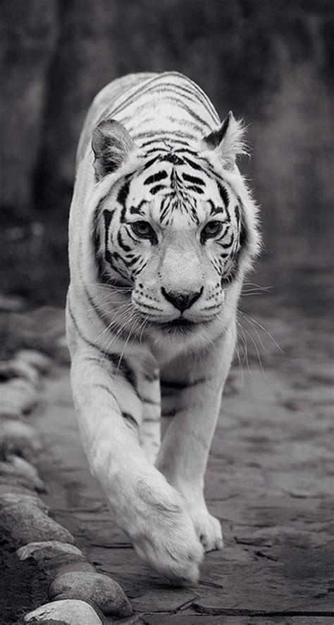 king tiger wallpaper iphone lock screen lock