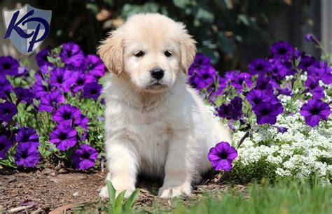 becky golden retrievers 124 best images about golden retriever puppies on service dogs pets and