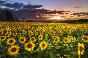 Big field of sunflowers is a photograph by debra and dave vanderlaan