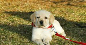 10 things you need to know about labrador retrievers puppy lover