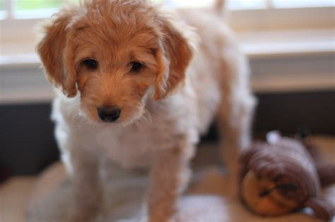 goldendoodle puppy ny goldendoodle puppy for sale green collar boy nicknamed