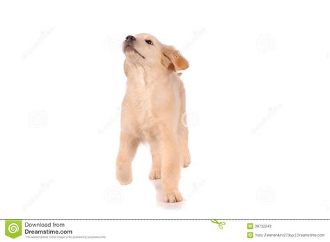 your purebred puppy golden retriever purebred golden retriever stock photos image 38732243