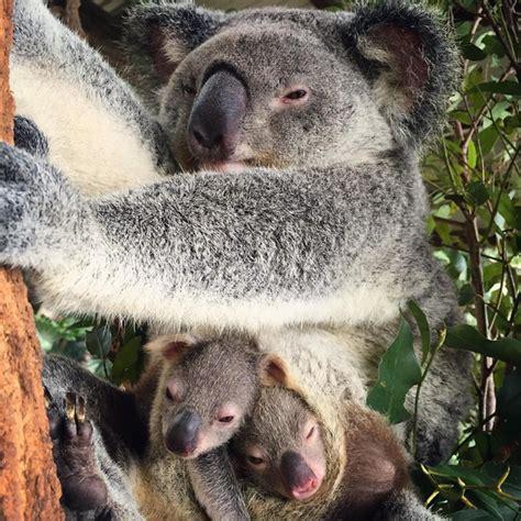 koala hängematte este precioso koala rescatado nos sorprende con su par de