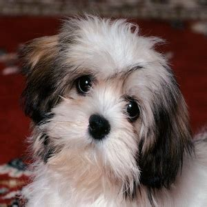 cute puppy android wallpapers for free cute puppies wallpapers android apps on google play