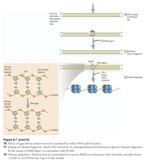 what acts as the template in dna replication what acts as the template in dna replication templates data