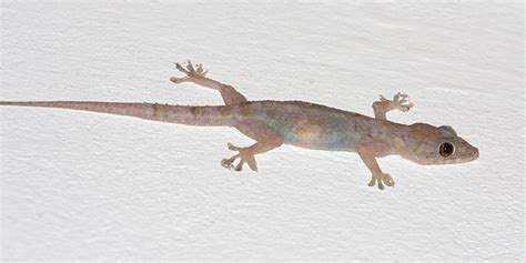 common house gecko common house gecko hemidactylus frenatus photo tom murray photos at pbase com