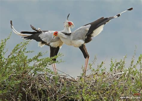 courtship display of the secretarybird bird ecology