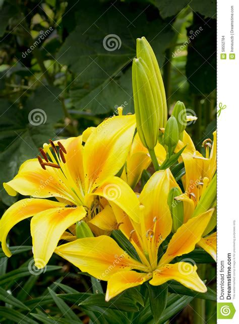 beautifully blooming yellow lily in the garden stock photo image 58552784