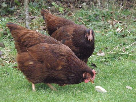 what are the best backyard egg laying chickens a chicken keeper s blog