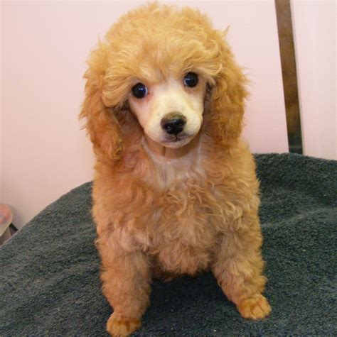 pups schemel pretty poodle pups