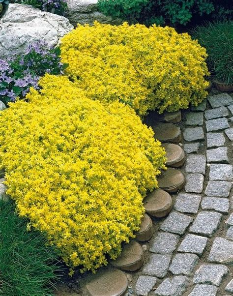 low growing flowering shrubs for sun 18 best flowering ground cover plants balcony garden web
