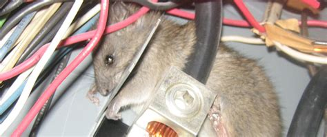 animals chewing wires what animals chew on electric wires