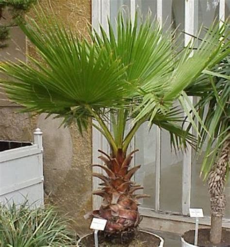planting fan palm trees bonsai mexican fan palm tree skyduster can be grown as