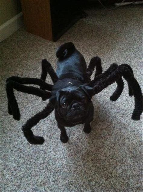 pug costumes for dogs 25 best ideas about spider costume on spider spider costume for