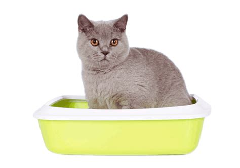 lettiere gatto lettiera per gatto la migliore lettiera per gatto