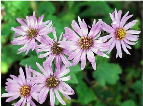 Aster Top Bl bl how much does garden landscaping cost