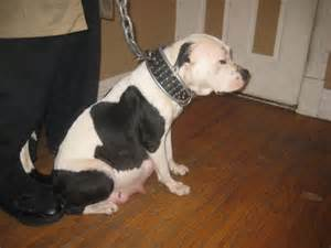 American bulldog cross pitbull puppies american bully pitbull mix