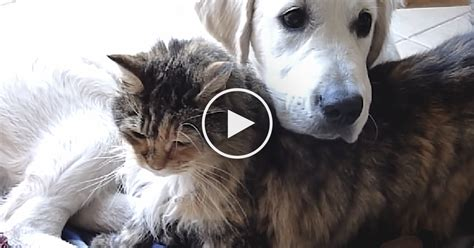 cat and golden retriever this cat and golden retriever are the sweetest just them together now