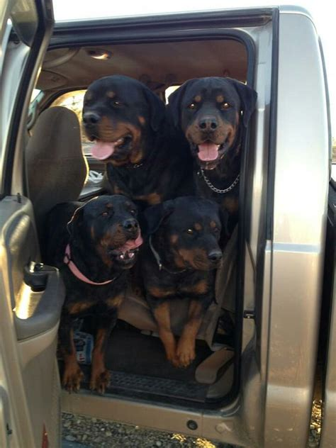 rottweiler in car 12 realities new rottweiler owners must accept