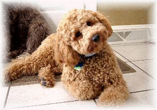 curly haired dog haircuts australian labradoodles u s a