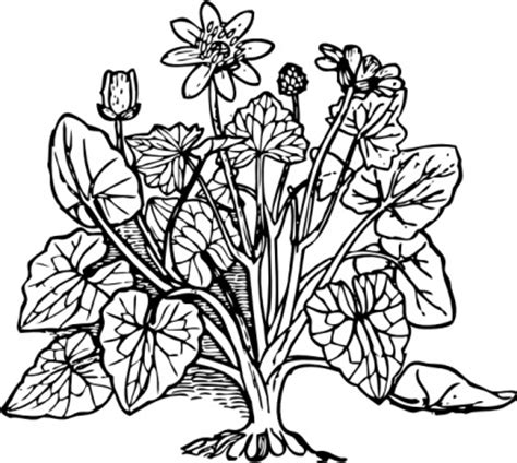 coloring pictures of flowers and trees outline plant nature lesser celandine vector free vectors