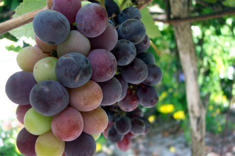 uvas silvestres imagenes huitzuco de los figueroa nardaaraceli s blog