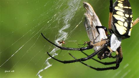 Garden Spider Sc South Carolina Wildlife Observations Page September 2012