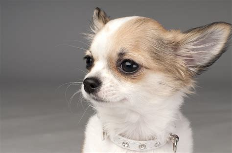 Pictures Of Chi enchanting facts about the chihuahuas