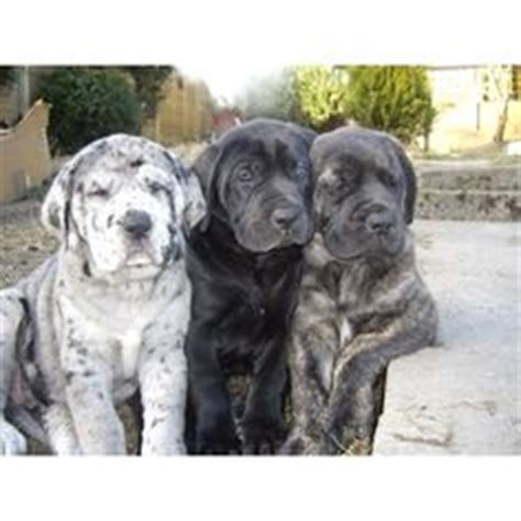 mastidane puppies for sale 1000 ideas about mastiff mix on mastiff dogs dogs for adoption and