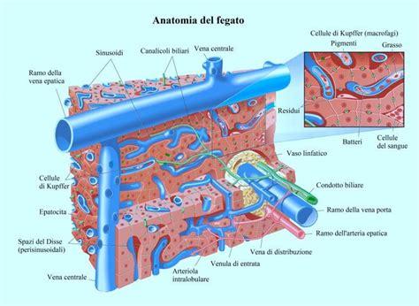 vena porta epatica anatomia fegato
