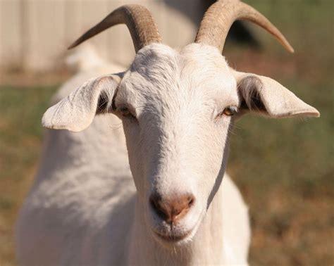 Cabra Meme - portal lechero cabras ovejas b 250 falas