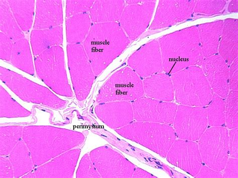transverse section of skeletal muscle ch 09 skeletal muscle cell fiber histology