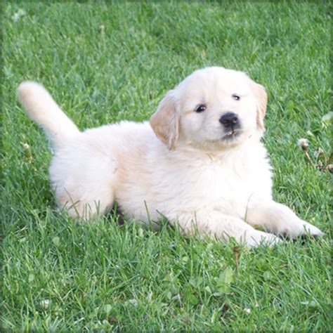 golden retriever puppies for sale cleveland ohio playful golden retriever puppies now available cleveland dogs for sale puppies