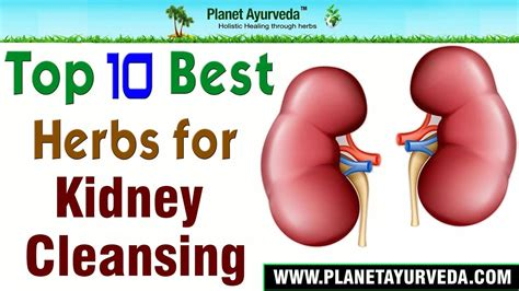 Purpose Of The Kidneys And Detox by Top 10 Best Herbs For Kidney Cleansing Detox Your
