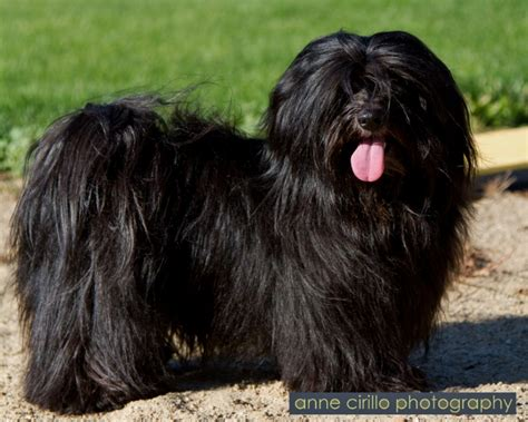 black havanese puppies black havanese havanese havanese and animal