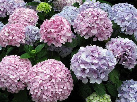 imagenes flores hortensias todo con las flores decorar crear degustar cuidar