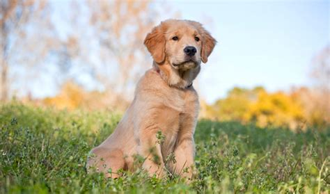 healthy weight for golden retriever golden retriever