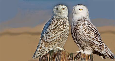 snowy owl s bohemia mine adventure country traveler