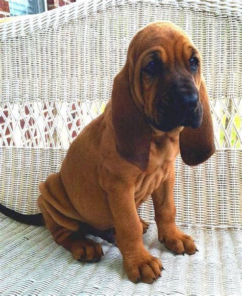 bloodhound puppies bloodhound puppy future
