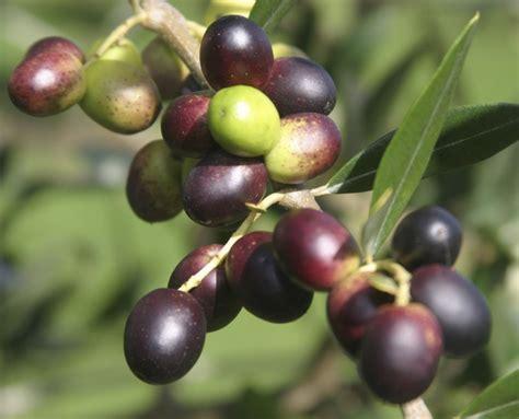 Pohon Zaitun Banyak Tumbuh buah zaitun warisan al quran yg dilupakan umat islam