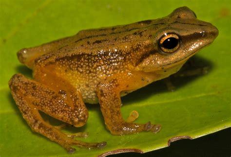 imagenes d ranas alegres descubren en colombia nueva especie de rana dorada